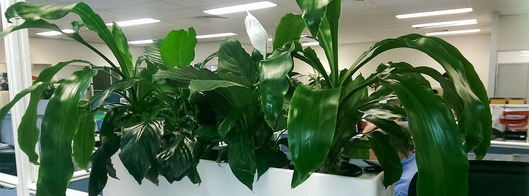 Green indoor office plant