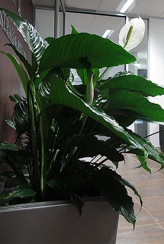 Improve Air Quality - Indoor Plant Hire - Prestigious Plantscapes